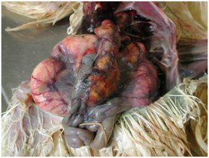 Caseous Salpingitis (Oviduct Infection)