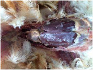 Pullet with caseous perihepatitis and pericarditis